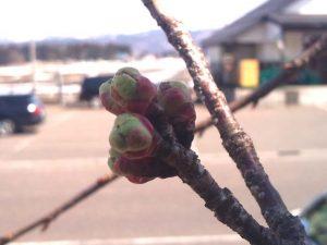上越の桜・・・